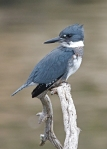 Belted_Kingfisher_m-cr